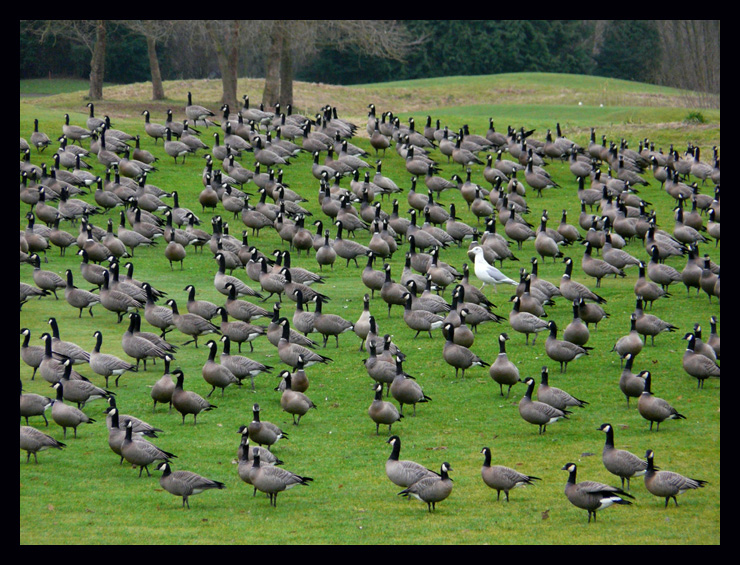 Goose Control for Virginia, Delaware, North Carolina, and Maryland